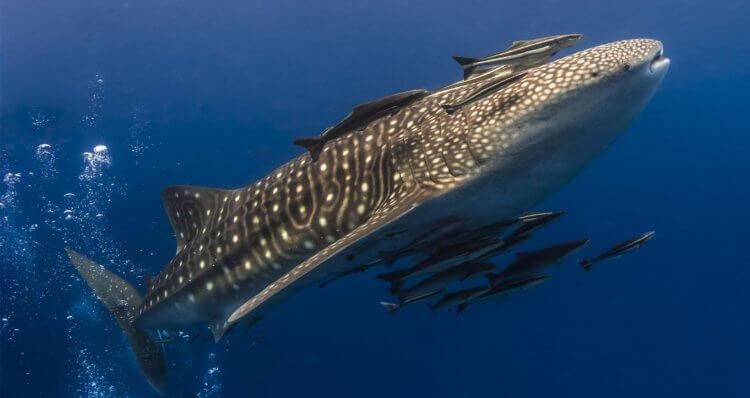 Whale Shark Aussie Divers Phuket Scuba