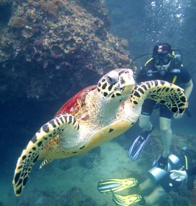Turtle and Diver Phi Phi Scuba Diving Aussie Divers