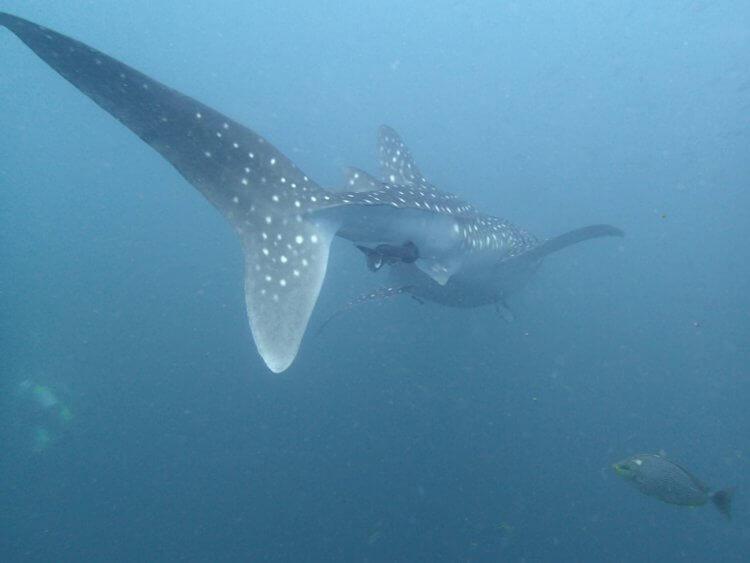 Whale Shark Phi Phi Aussie Divers Phuket