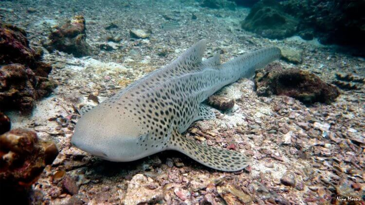Leopard Shark Scuba Dive Aussie Divers Phuket Nina