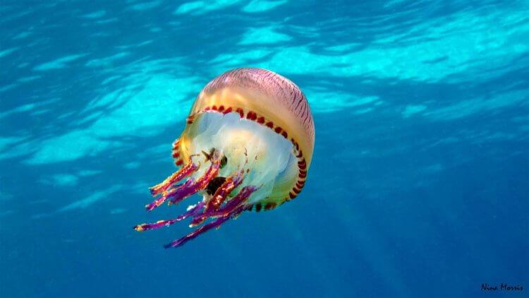 Jelly Fish Scuba Dive Aussie Divers Phuket Nina