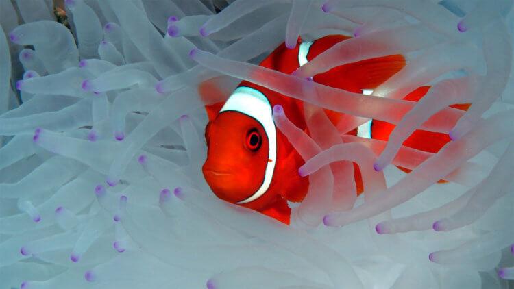 Anemonefish White Coral Aussie Divers
