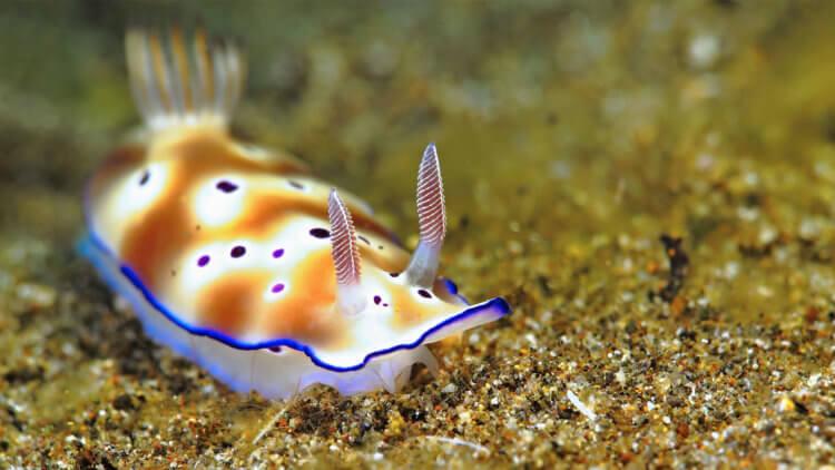 Beautiful Nudibranch Aussie Divers Phuket