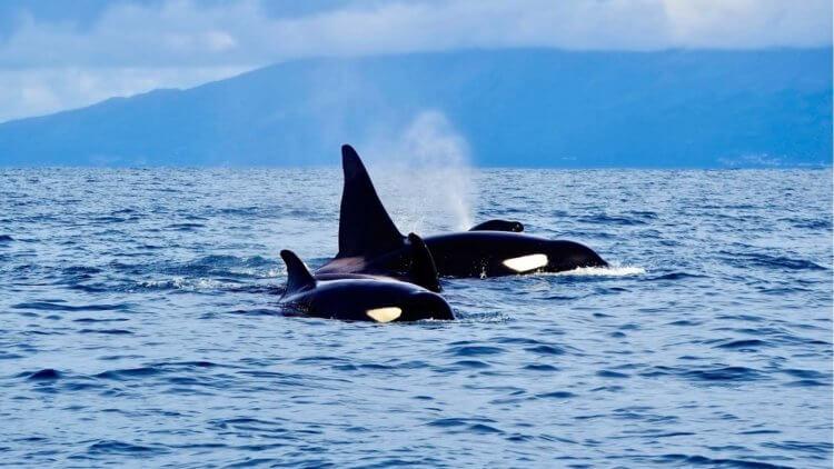 Killer Whales Orca Aussie Divers Phuket