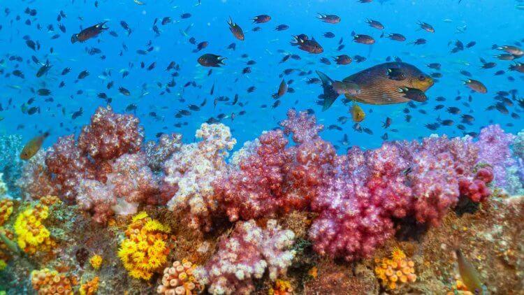 King Cruiser Coral Aussie Divers