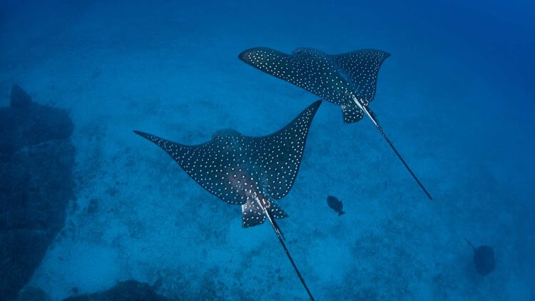 Spotted Eagle Ray Aussie Divers Phuket