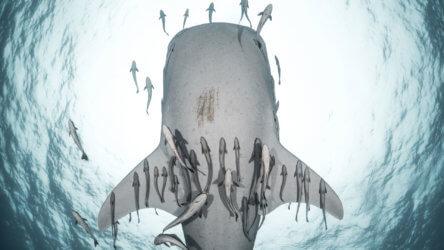 Whale Shark Suckerfish Aussie Divers Phuket