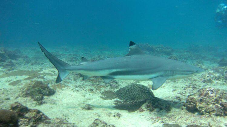 Blacktip Reef Shark at Koh Phi Phi Ley