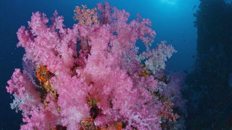 Coral at Hin Muang Aussie Divers Phuket