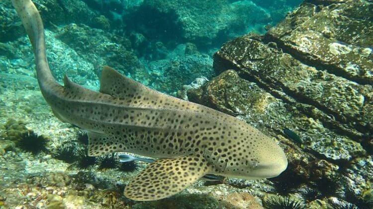 Leopard Shark at Hin Bida Phi Phi