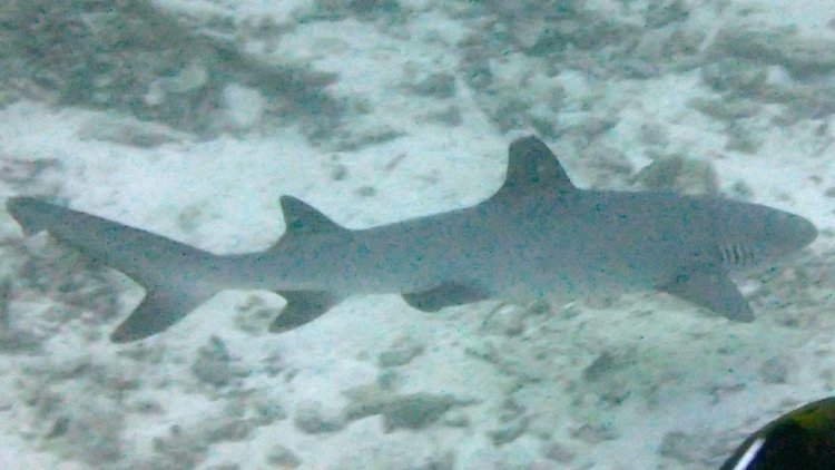 Whitetip Reef Shark Similan Islands