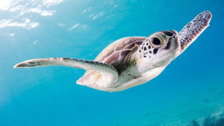 Baby Turtle Aussie Divers Phuket
