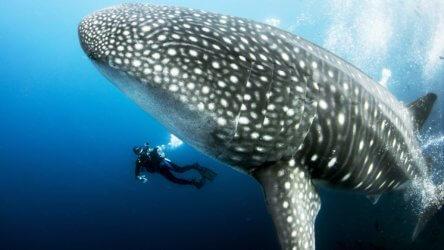 Up Close Whale Shark