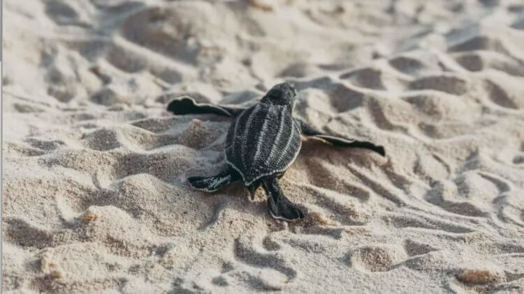 Baby Leatherback Turtle Phuket Thailand